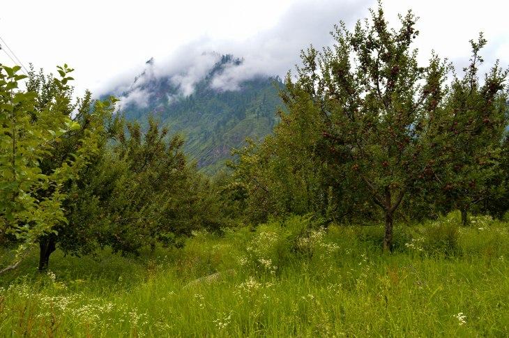 Apple orchards in Kalga