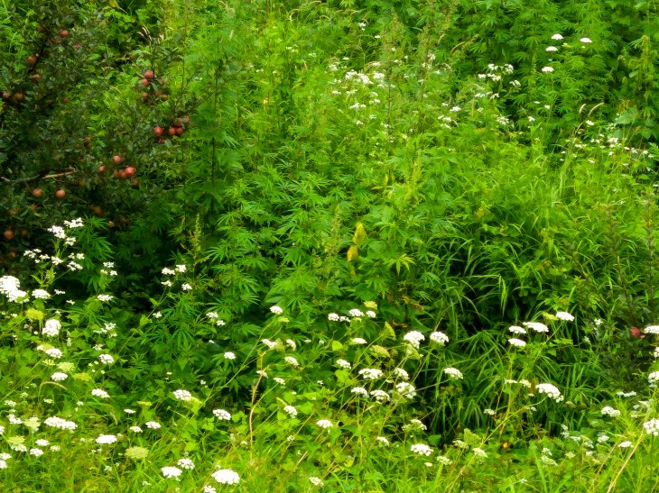 weeds in Kalga