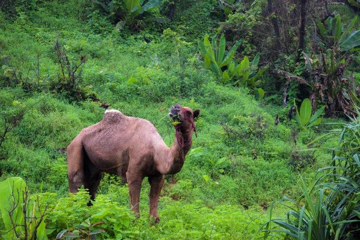 A camel on Ganpatipule Beach