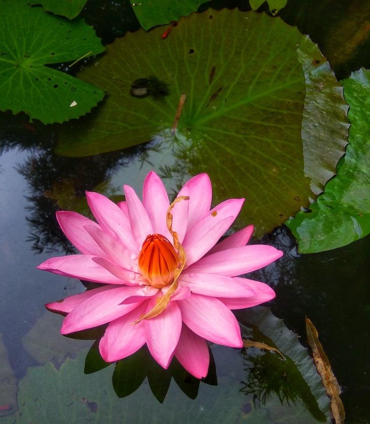 Lotusinmud